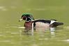 ADK-12480: Drake Wood Duck