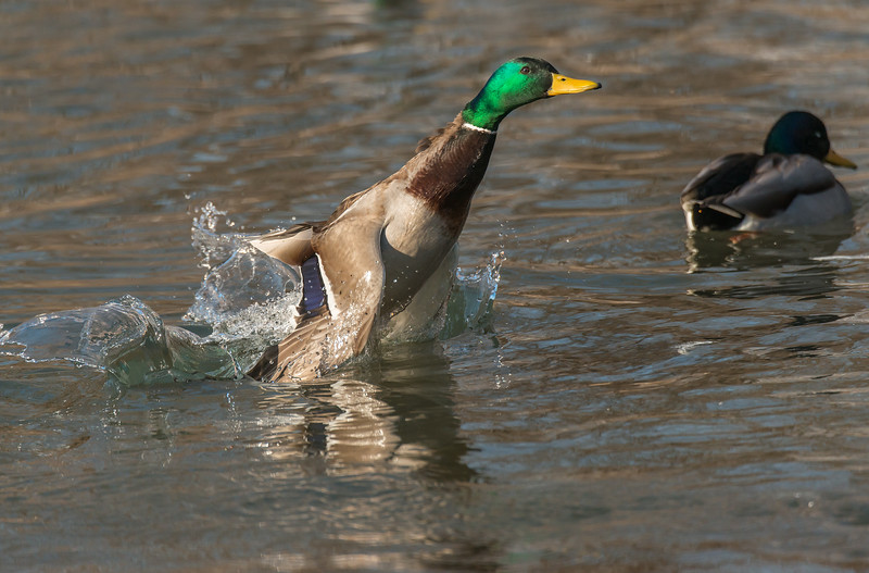 Green-head taking flight