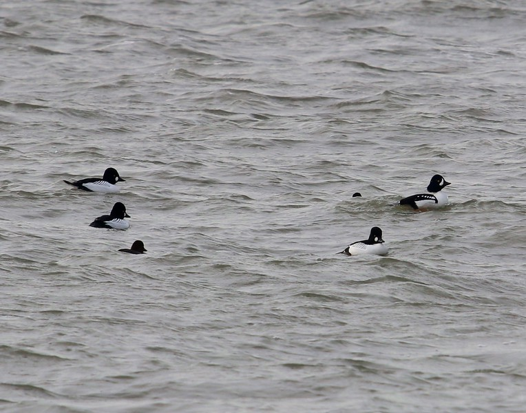 Common Goldeneye & a single Barrows Goldeneye