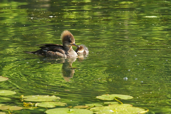 Female Hooded Merganser And Young (Lophodytes cucullatus)