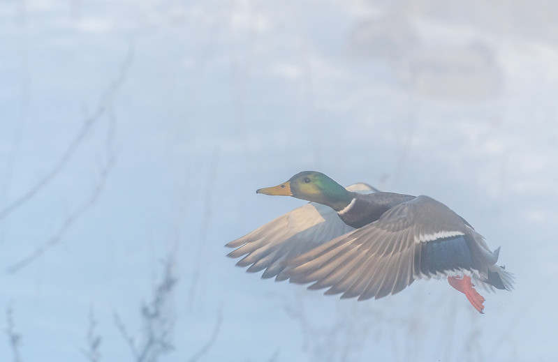 Drake Mallard taking flight through fog