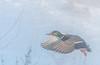 Drake Mallard taking flight through fog