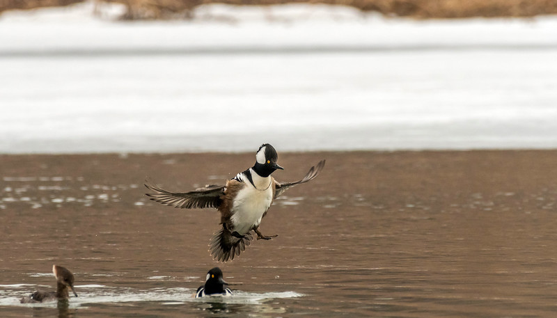 Drake Hooded Merganser coming in