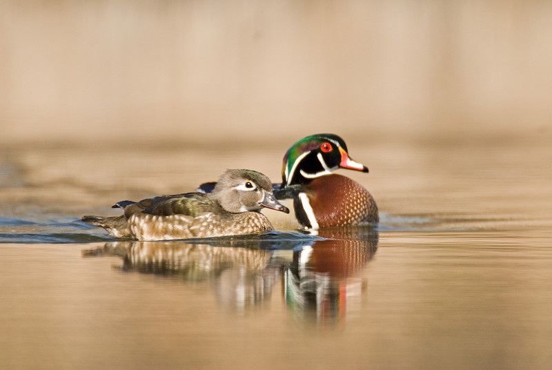 ADK-7184: Wood duck pair (Aix sponsa)