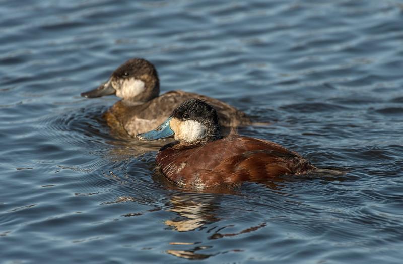 Male /Female Ruddy Ducks