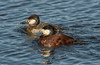 Male /Female Ruddy Ducks