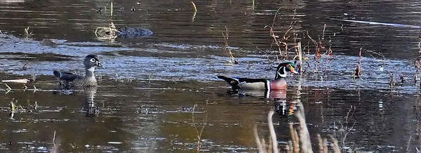 #1574  Wood duck pair   Nov 2019