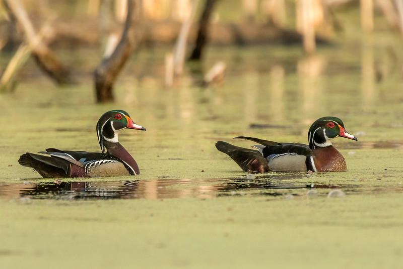 Drake Woodies in duckweed pond