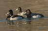Ring-necked and Lesser Scaup Drakes