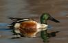 Drake Spoonbill
