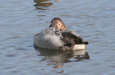 Canvasback Female