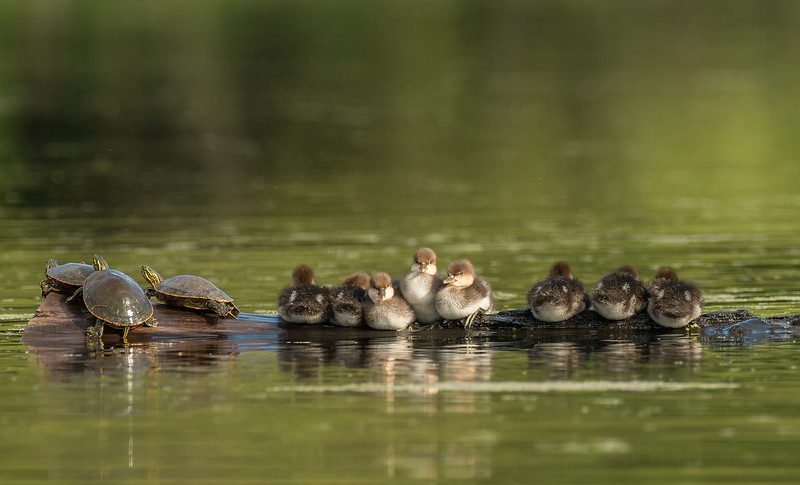 Merganser ducklings and Painted Turtles