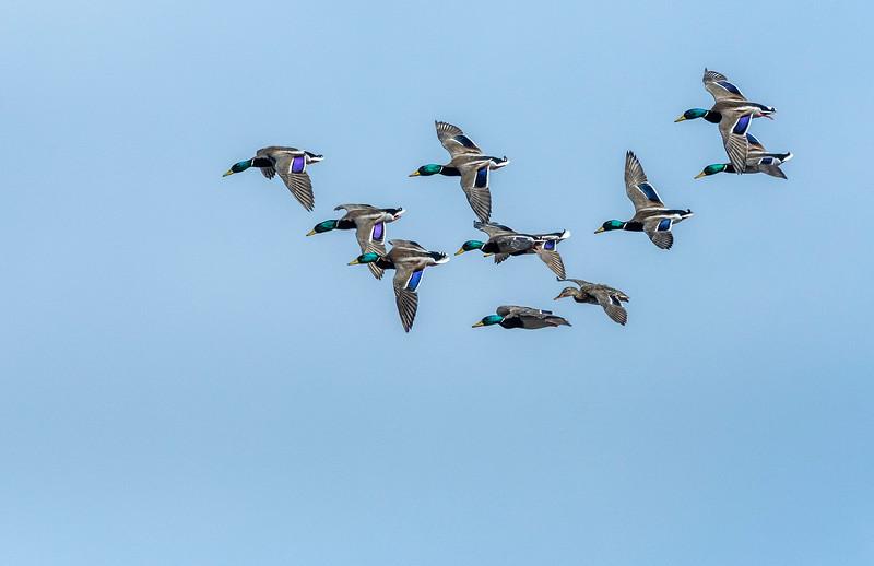 Mallards in a courtship flight