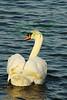Swan4505(8x12w)