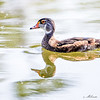 Non-breeding Male Wood Duck