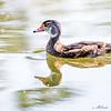Non-breeding Male Wood Duck