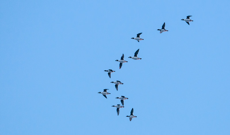 Common Goldeneyes in flight