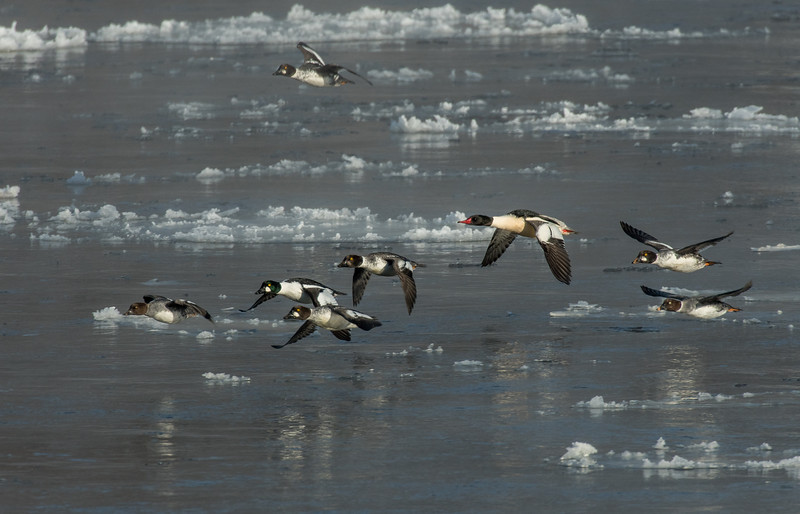 Goldeneyes with Merganser