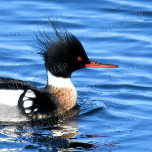 1374  Red-breasted Merganser portrait, male