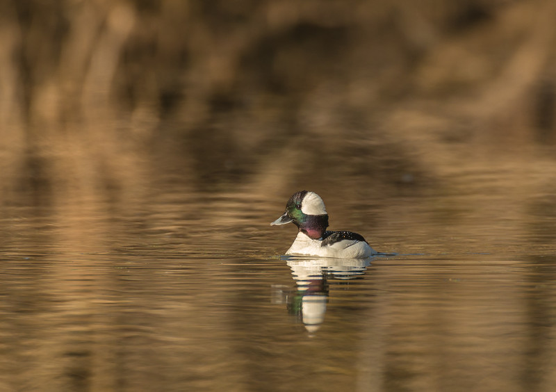 Drake Bufflehead and reflection