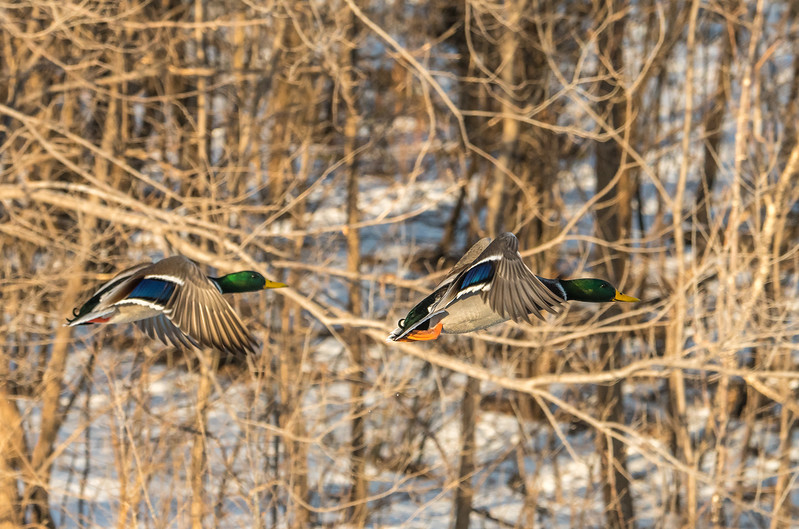 Drake Mallards in flight