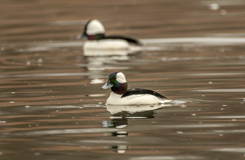 Pair of Drake Buffleheads