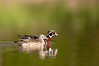 ADK-12257: Wood Duck pair