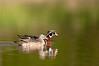 ADK-12257: Wood Duck pair