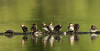 Hooded Merganser ducklings and visitor