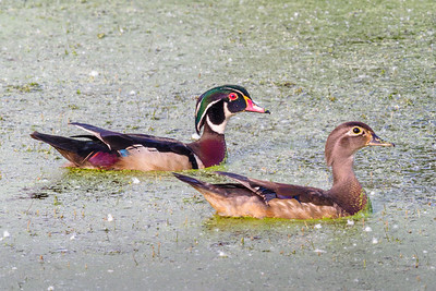 Mr and Mrs Wood Duck