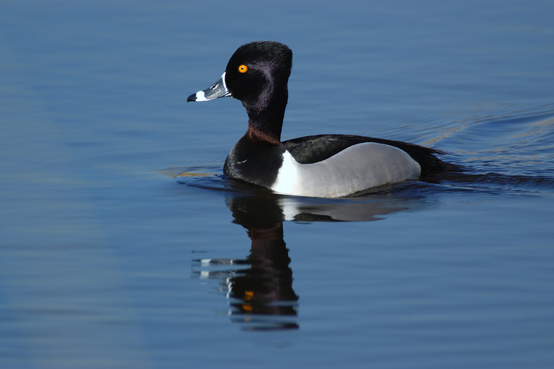 ADK-5006: Male Ring-necked duck (Aythya collaris)