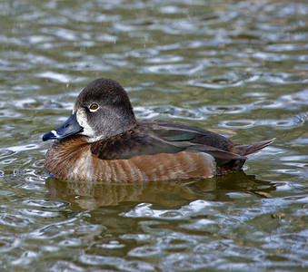 Female Ring-necked Duck in breeding plumage