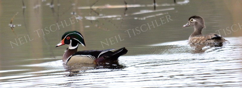 #1115  A wood duck pair.