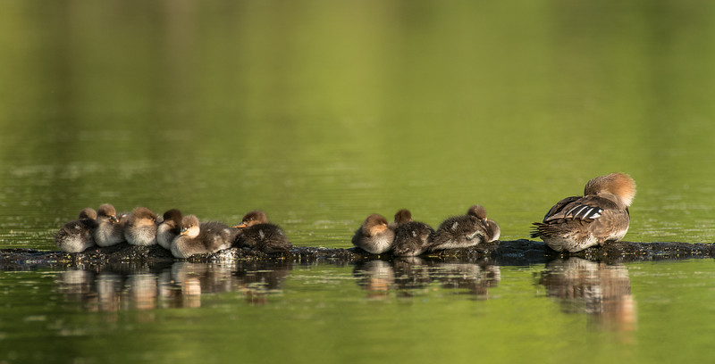Hooded Merganser family on break