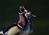 A pair of wood ducks<br /> The Celery Farm, Allendale<br /> New Jersey