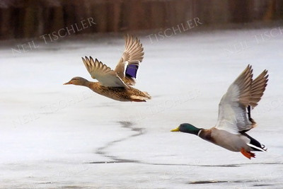 f#1341  Mallard pair in flight