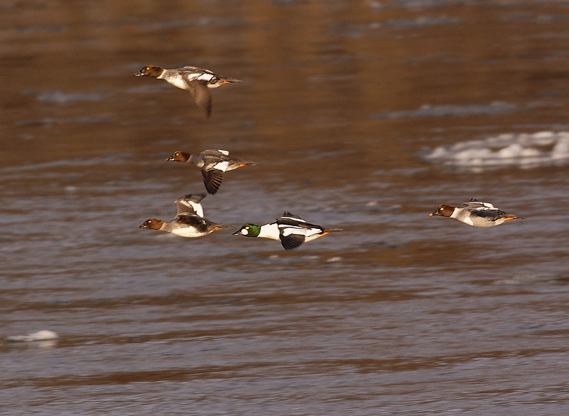 ADK-6003: Common Goldeneyes on the wing (Bucephala clangula)
