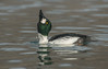 Thirsty Drake Goldeneye