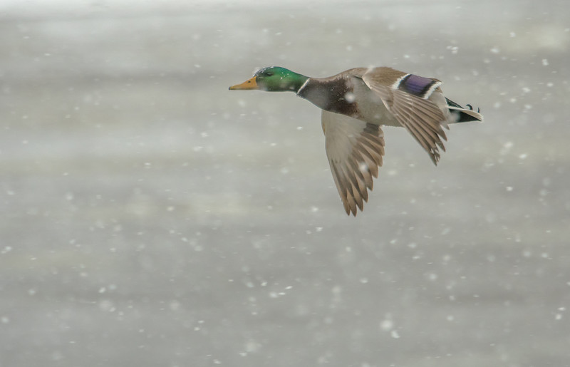 Drake Mallard flying in falling snow