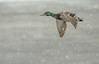 Drake Mallard flying in falling snow