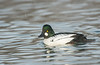 Drake Common Goldeneye