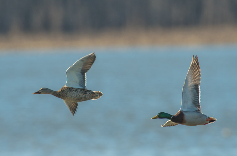 Mallard courtship flight
