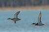 Mallard courtship flight