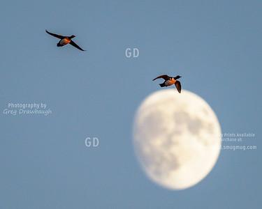 Merganser Moon