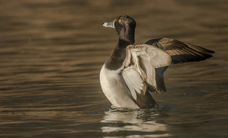 Drake Ring-necked duck wingflap