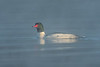 Drake Common Merganser