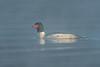 Drake Common Merganser