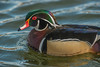 Drake Wood Duck portrait