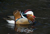 Mandarin duck (male)<br /> New Jersey, 2009