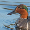 Green-winged Teal, Niven Lake Trail, Yellowknife, NWT
